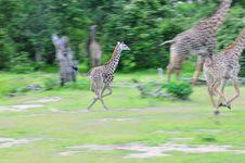 Free Running Giraffes Stock Photos - 13643653