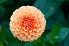 Free Macro View Of Orange Flower Dahlia Royalty Free Stock Photo - 13643965