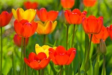 Free Many Red And Yellow Tulips On Green Background Stock Image - 13644021