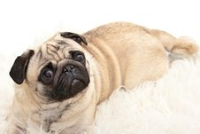 Free Sweet Pug Is Watching Royalty Free Stock Images - 13644119