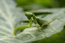 Free Grasshopper Green Stock Photos - 13644603