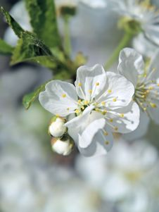 Free Apple Tree Flowers Stock Photo - 13644660
