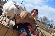 Free Boy Feeding Hungry Goats Royalty Free Stock Photo - 13644925