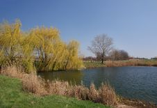 Free Country Pond With Willow. Stock Image - 13645281