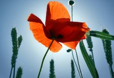 Free Red Poppy And Spikes. Stock Images - 13645294