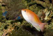 Free Anthias Fish In Aquarium Stock Image - 13645481