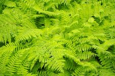 Free Fern Background Royalty Free Stock Photos - 13646578