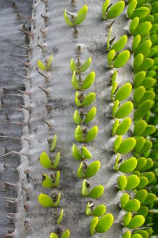 Free Exotic  Thorn Tree Stock Images - 13646634