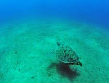 Green Sea Turtle (Chelonia Mydas) Stock Photography