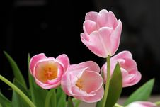 Free Tulips Royalty Free Stock Images - 13647369