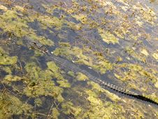 Free Small Gator In A Swamp Laying Diagonaly 91 90 Stock Photos - 13647463