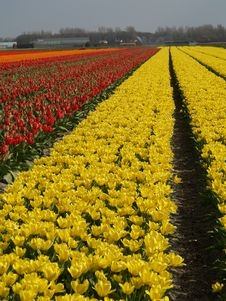 Tulip Field Stock Images