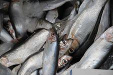 Free Small Silver Fish Stock Image - 13647881