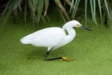 Free Snowy Egret Stock Images - 13648354