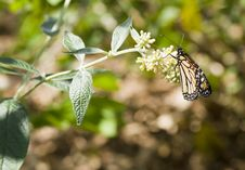 Free Monarch Stock Images - 13648494