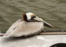 Free Pelican Eyes Stock Photo - 13649700