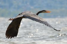 Free Great Blue Heron In Flight Royalty Free Stock Photos - 13649808