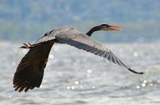 Free Great Blue Heron In Flight Royalty Free Stock Photos - 13649808
