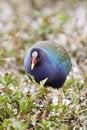 Free Purple Gallinule Stock Images - 13653674