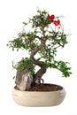 Free Bonsai Stock Image - 13657651