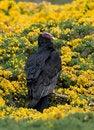 Free Turkey Vulture, Yellow Flowers Royalty Free Stock Photos - 13658038