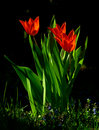Free Red Tulips Royalty Free Stock Photography - 13658087