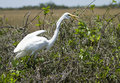 Free Great White Heron (Ardea Herodias) Royalty Free Stock Image - 13658356