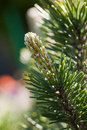 Free Green Pine Tree Closeup Stock Images - 13659344