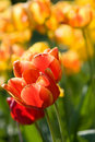 Free Red And Yellow Tulips Stock Image - 13659451