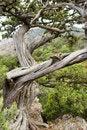 Free Ancient Juniper Stock Photography - 13659712