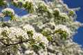 Free Apple Tree In Blossom Royalty Free Stock Photography - 13659887