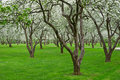 Free Bloomy Apple Garden Stock Photo - 13659920