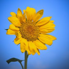 Free Sunflower Royalty Free Stock Photos - 13650118