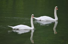 Free Swans Stock Photography - 13650382