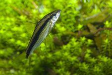 Free Barbus Fish In Aquarium Stock Photos - 13650843