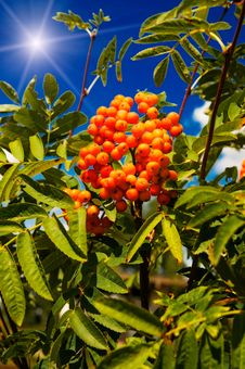 Free Blue Sky,sun And Tree Of Ripe Rowanberry. Royalty Free Stock Photography - 13651107