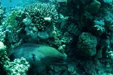 Free Moray Eel In Reef Royalty Free Stock Image - 13651536