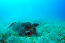 Sea Green Turtle Stock Images