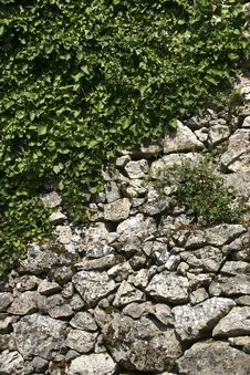 Free Wall And Climbing Plant Royalty Free Stock Photos - 13652108