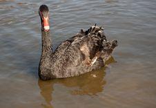 Free Black Swan In A Lake Stock Photo - 13652280