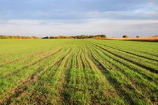 Free Winter Wheat � Future Harvest Royalty Free Stock Photos - 13652528