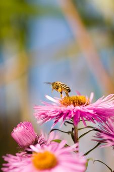 Free Bee And Flower. Royalty Free Stock Photo - 13653295
