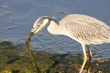 Free Yellow-crowned Night Heron Stock Photo - 13653660