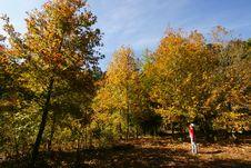Free Maple Tree Stock Photos - 13654013