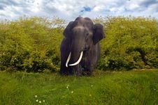 Free Big Elephant In A Jungle Royalty Free Stock Photography - 13654027