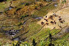 Buffaloes Cows Stock Photos
