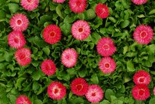 Free Pink Flowers Royalty Free Stock Photos - 13654698