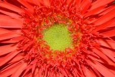 Free Red Daisy Flower Stock Photo - 13655390