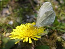 Free Butterfly On A Yellow Dandelion Royalty Free Stock Photography - 13655567