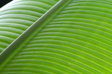 Bright Banana Leaf Stock Photography